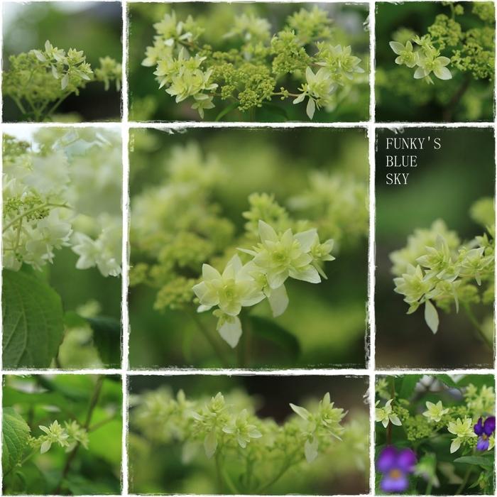 白い紫陽花*_c0145250_9461222.jpg