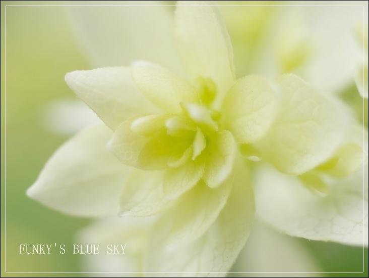 白い紫陽花*_c0145250_9543795.jpg