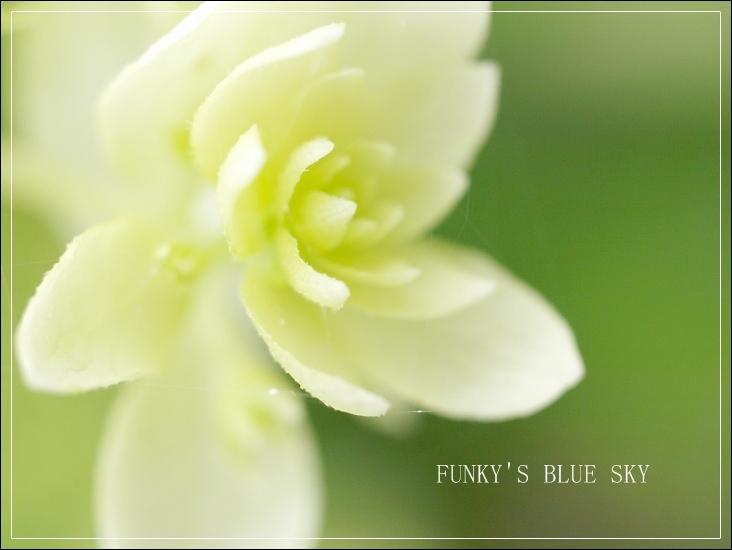 白い紫陽花*_c0145250_9545510.jpg
