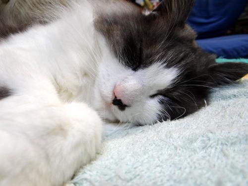 Huu&チョビ。。。ヤマセの日の寝姿はこんな感じ♪_a0136293_1843593.jpg