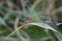 シオカラトンボのメスのようですが羽がオレンジ_b0025008_20114311.jpg