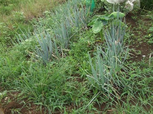 暑いが...収穫を楽しみに、草取りです。_b0137932_23493156.jpg