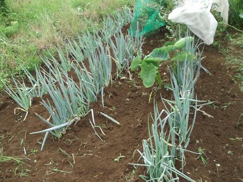 暑いが...収穫を楽しみに、草取りです。_b0137932_23501683.jpg