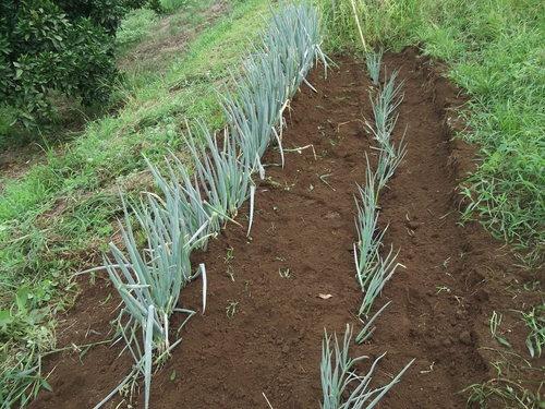暑いが...収穫を楽しみに、草取りです。_b0137932_23504545.jpg