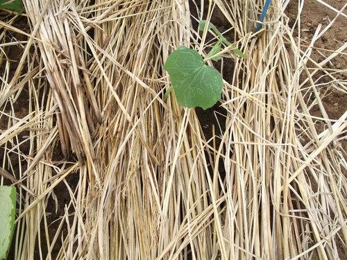 暑いが...収穫を楽しみに、草取りです。_b0137932_2351365.jpg