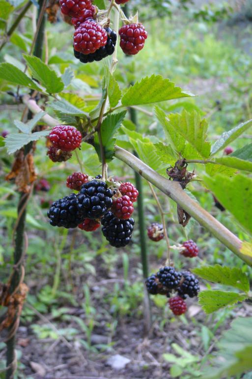BlackBerry豊か_e0226943_23491258.jpg