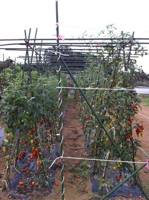 長ナスは約2mに・・今朝の湿度は異常に高く・・・畑は気温が高く水を飲みながら・・_c0222448_17582136.jpg