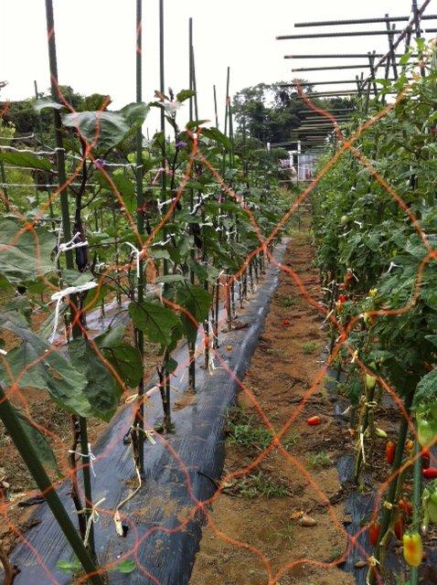 長ナスは約2mに・・今朝の湿度は異常に高く・・・畑は気温が高く水を飲みながら・・_c0222448_17584958.jpg