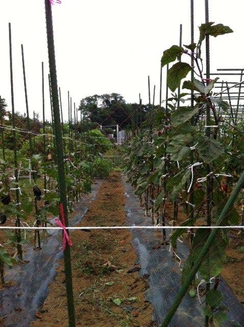 長ナスは約2mに・・今朝の湿度は異常に高く・・・畑は気温が高く水を飲みながら・・_c0222448_1759177.jpg