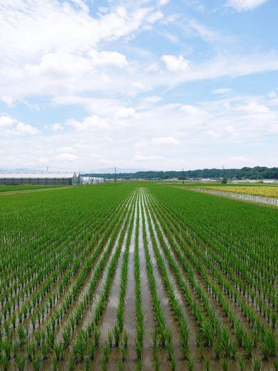 七城米 長尾農園 晴天に恵まれ、苗たちは元気に成長中です!!_a0254656_1750312.jpg