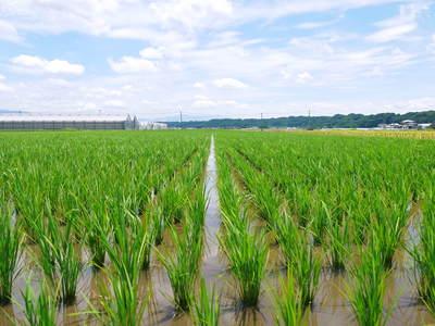 七城米 長尾農園 晴天に恵まれ、苗たちは元気に成長中です!!_a0254656_1810720.jpg