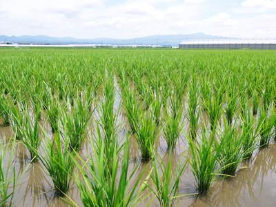 七城米 長尾農園 晴天に恵まれ、苗たちは元気に成長中です!!_a0254656_18373140.jpg