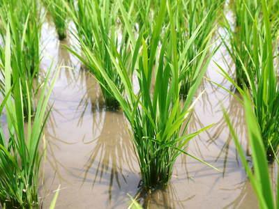 七城米 長尾農園 晴天に恵まれ、苗たちは元気に成長中です!!_a0254656_1854457.jpg