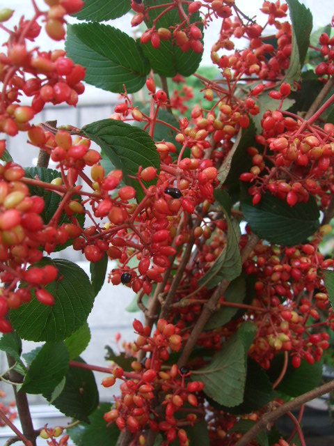 オークリーフ(ワイルドな花たち)_f0049672_14262853.jpg