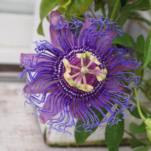 トケイソウのお花、続々と。_a0292194_1674492.jpg