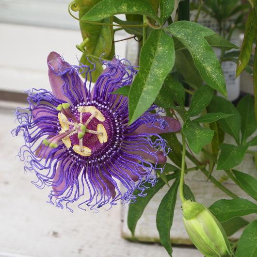 トケイソウのお花、続々と。_a0292194_1682563.jpg