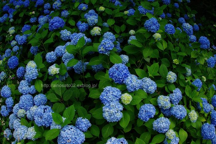 紫陽花群咲_b0103798_4591871.jpg
