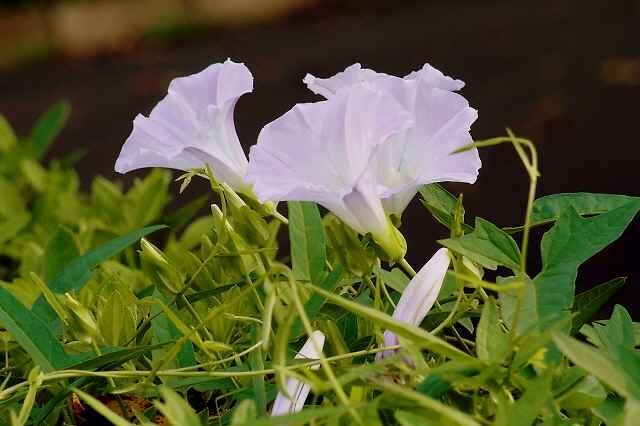 道端に咲く花を楽しむ _f0214527_10243075.jpg