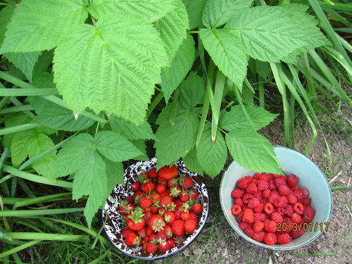 ラズベリー収穫_f0231042_1251494.jpg
