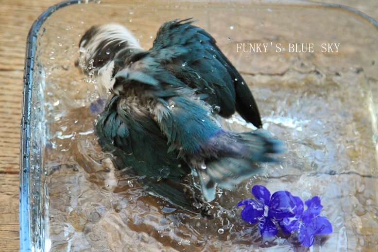 水浴(び)B.Bの記録 → 新しい鳥カゴ!? (続・6月23日)_c0145250_11205742.jpg