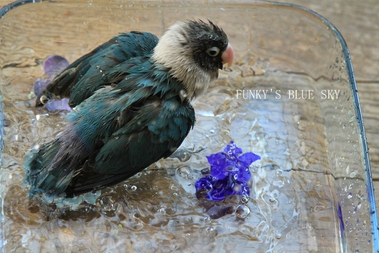 水浴(び)B.Bの記録 → 新しい鳥カゴ!? (続・6月23日)_c0145250_11211454.jpg