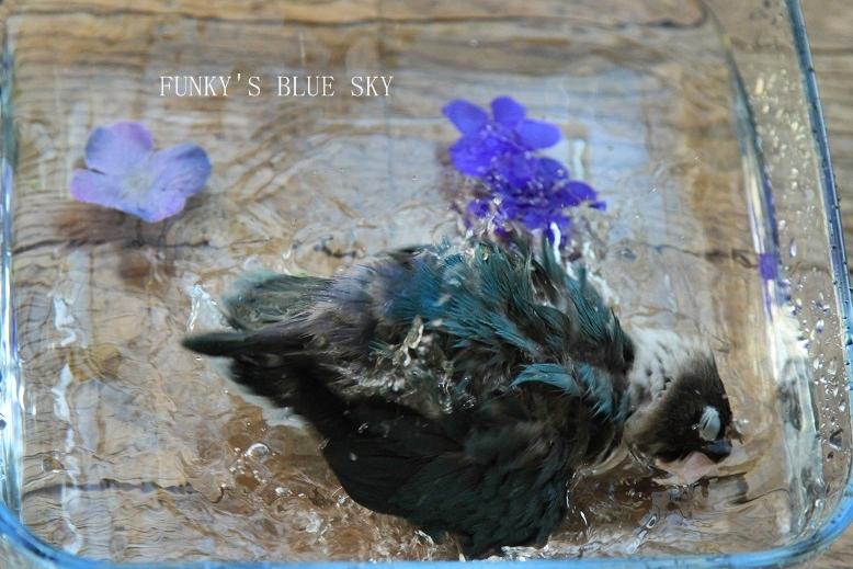 水浴(び)B.Bの記録 → 新しい鳥カゴ!? (続・6月23日)_c0145250_11212116.jpg
