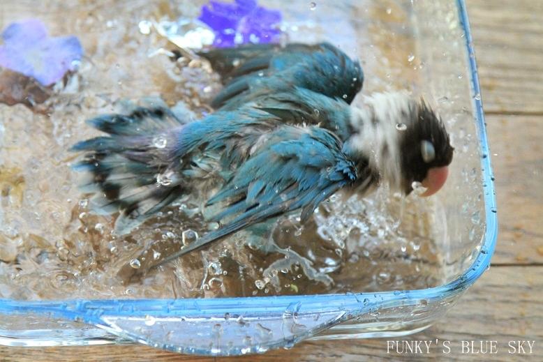 水浴(び)B.Bの記録 → 新しい鳥カゴ!? (続・6月23日)_c0145250_11212963.jpg
