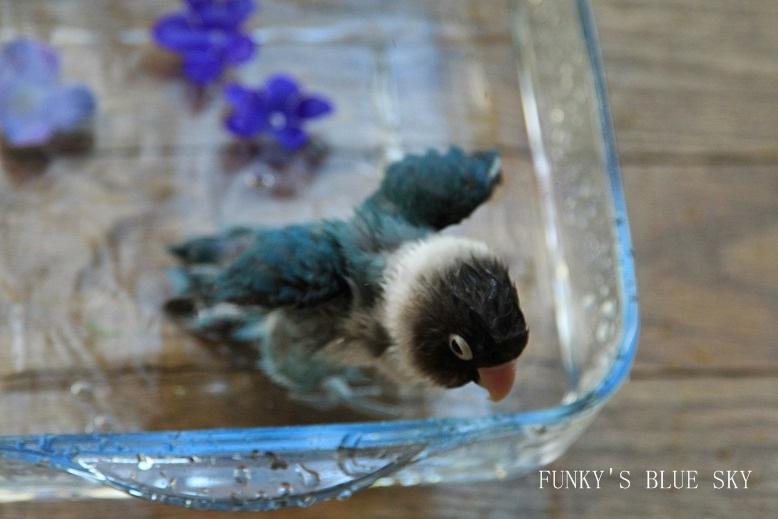 水浴(び)B.Bの記録 → 新しい鳥カゴ!? (続・6月23日)_c0145250_11214375.jpg