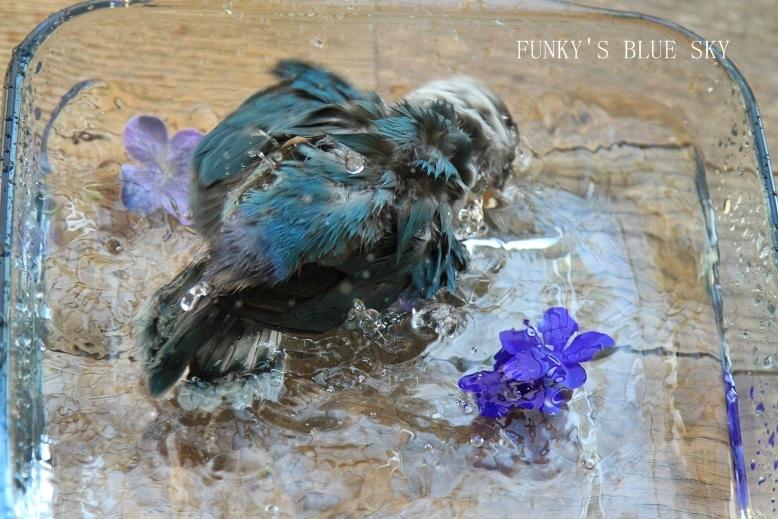水浴(び)B.Bの記録 → 新しい鳥カゴ!? (続・6月23日)_c0145250_1121544.jpg