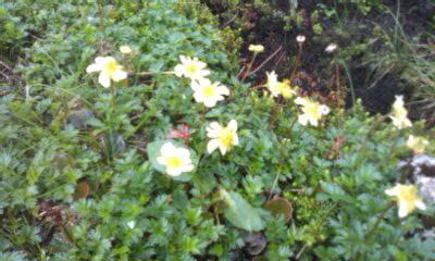チングルマやイワカガミ・・・たくさんの花達 *^-^*_f0061067_22382325.jpg