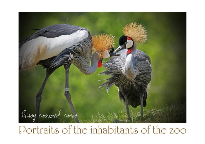 ホオジロカンムリヅル:Grey crowned crane_b0249597_6221013.jpg