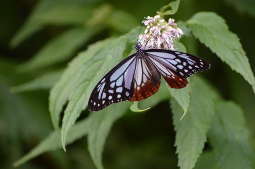 オオゴマシジミ他 この土日で出会えた蝶。_d0254540_17102051.jpg