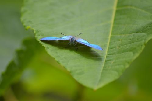 オオゴマシジミ他 この土日で出会えた蝶。_d0254540_17113138.jpg