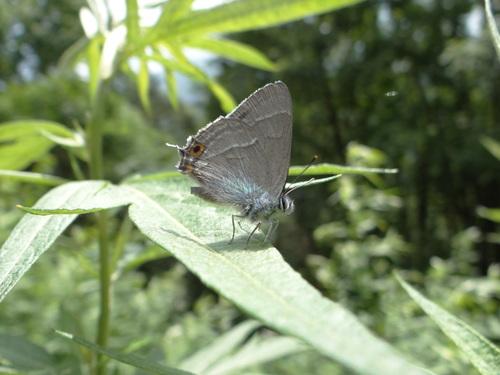 オオゴマシジミ他 この土日で出会えた蝶。_d0254540_17121243.jpg