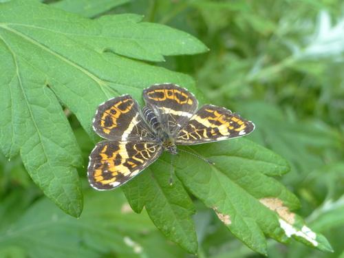 オオゴマシジミ他 この土日で出会えた蝶。_d0254540_17163813.jpg