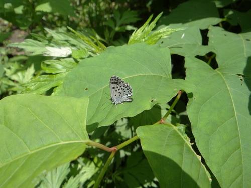 オオゴマシジミ他 この土日で出会えた蝶。_d0254540_17183649.jpg