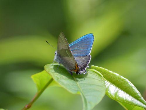 オオゴマシジミ他 この土日で出会えた蝶。_d0254540_17204264.jpg