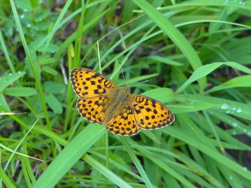 オオゴマシジミ他 この土日で出会えた蝶。_d0254540_1722959.jpg