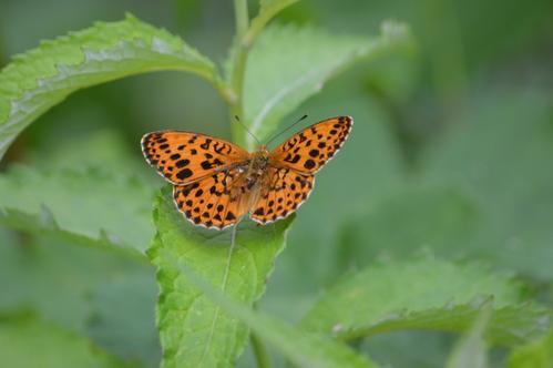 オオゴマシジミ他 この土日で出会えた蝶。_d0254540_17235522.jpg