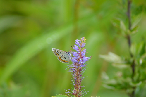 オオゴマシジミ他 この土日で出会えた蝶。_d0254540_17245888.jpg