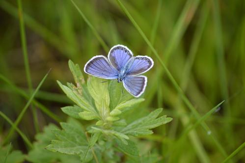 オオゴマシジミ他 この土日で出会えた蝶。_d0254540_17255750.jpg