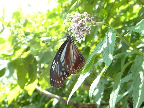 オオゴマシジミ他 この土日で出会えた蝶。_d0254540_1771425.jpg