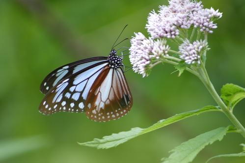 オオゴマシジミ他 この土日で出会えた蝶。_d0254540_1792629.jpg
