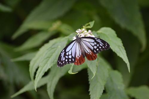 オオゴマシジミ他 この土日で出会えた蝶。_d0254540_1795682.jpg