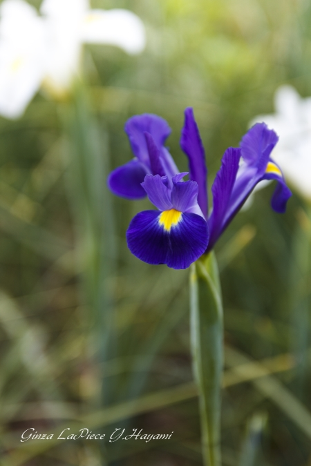 花のある風景 紫のダッチアイリス_b0133053_0224786.jpg