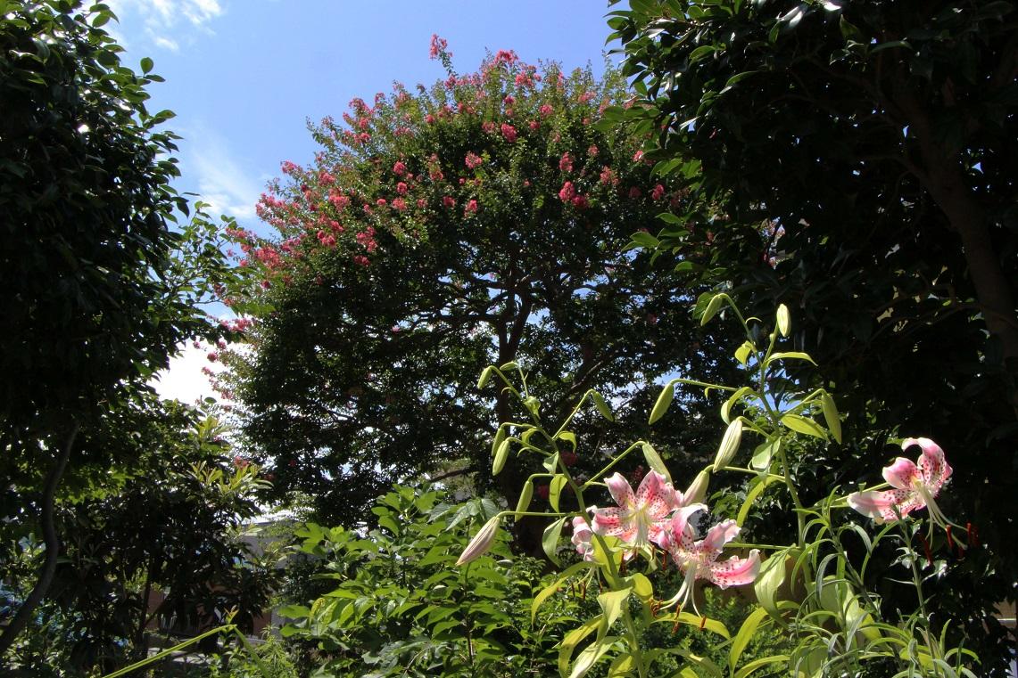 カノコユリ咲く咲く_a0107574_172403.jpg