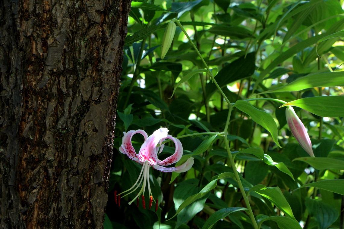カノコユリ咲く咲く_a0107574_18371854.jpg