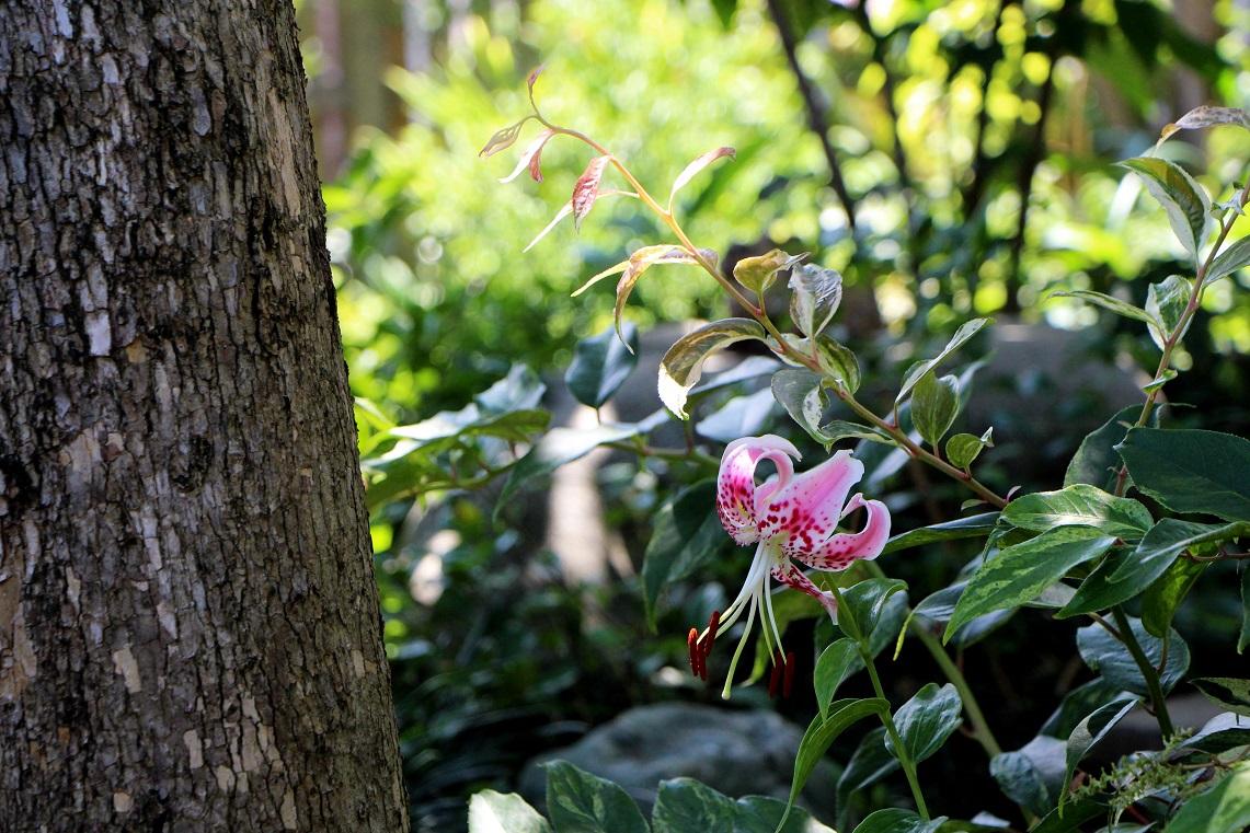 カノコユリ咲く咲く_a0107574_18391079.jpg