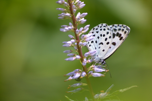 オオゴマシジミ  かなりハードルの高い蝶???_d0254540_8304865.jpg
