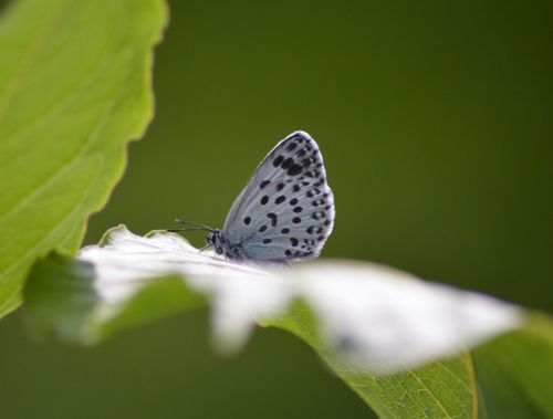 オオゴマシジミ  かなりハードルの高い蝶???_d0254540_8444332.jpg